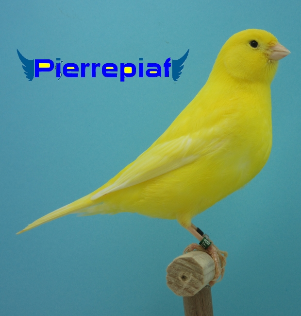 canari jaune intensif